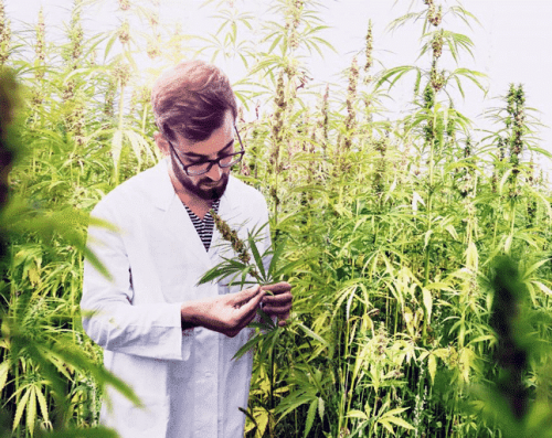 CBD Oil UK, Laboratory Technician Harvesting Plants.